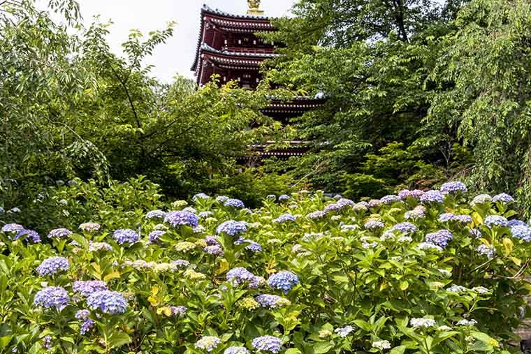 Mùa hoa cẩm tú cầu ở Nhật